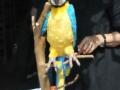 perroquet2 petit